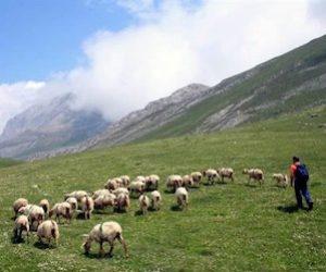 jornada-pastoreo-ovejas-colmenar-viejo